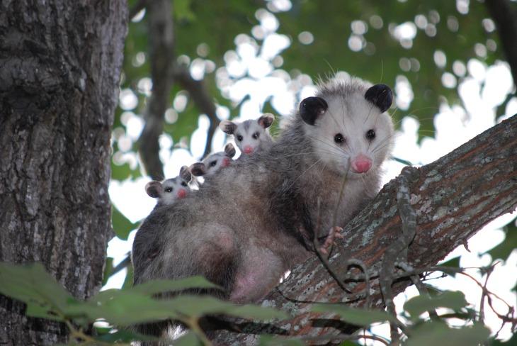 possum-1802326_1920